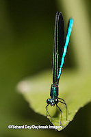 06014-001.19 Ebony Jewelwing (Calopteryx maculata) male, Lawrence Co. IL