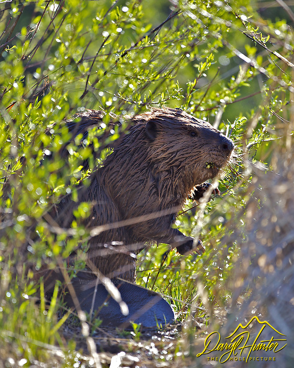 Beaver, Grand Teton National Park, Wyoming