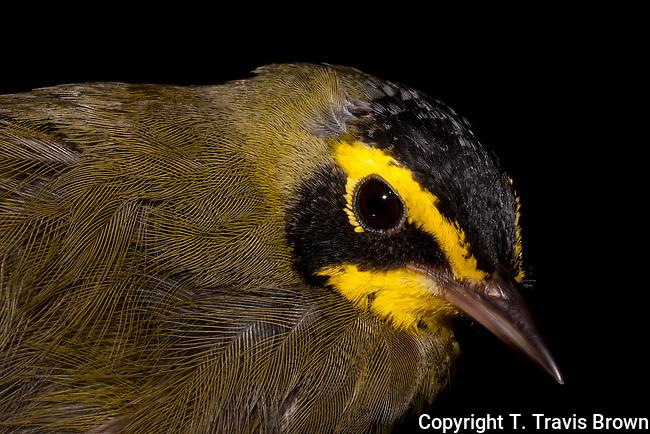 Kentucky Warbler Portrait