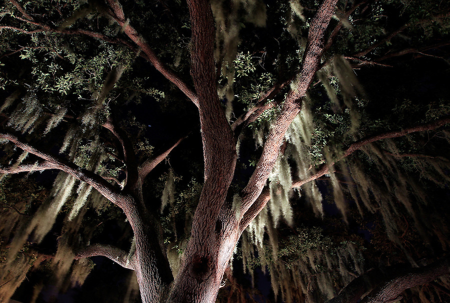 Oak tree behind Capt. Tom Shurtleff's home in Dundee, Fl. Photo/Andrew Shurtleff