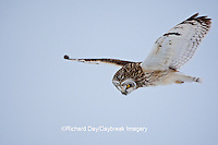 01113-012.17 Short-eared Owl (Asio flammeus) in flight at Prairie Ridge State Natural Area, Marion Co., IL