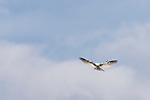 Rose Canyon, San Diego, California; a White-tailed Kite (Elanus leucurus) hovering above the ground searching for prey