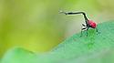 Giraffe necked weevil {Trachelophorus giraffa} male on leaf of Dichaetanthera cordifolia, on which it feeds. Tropical rainforest, Mantadia NP, Madagascar