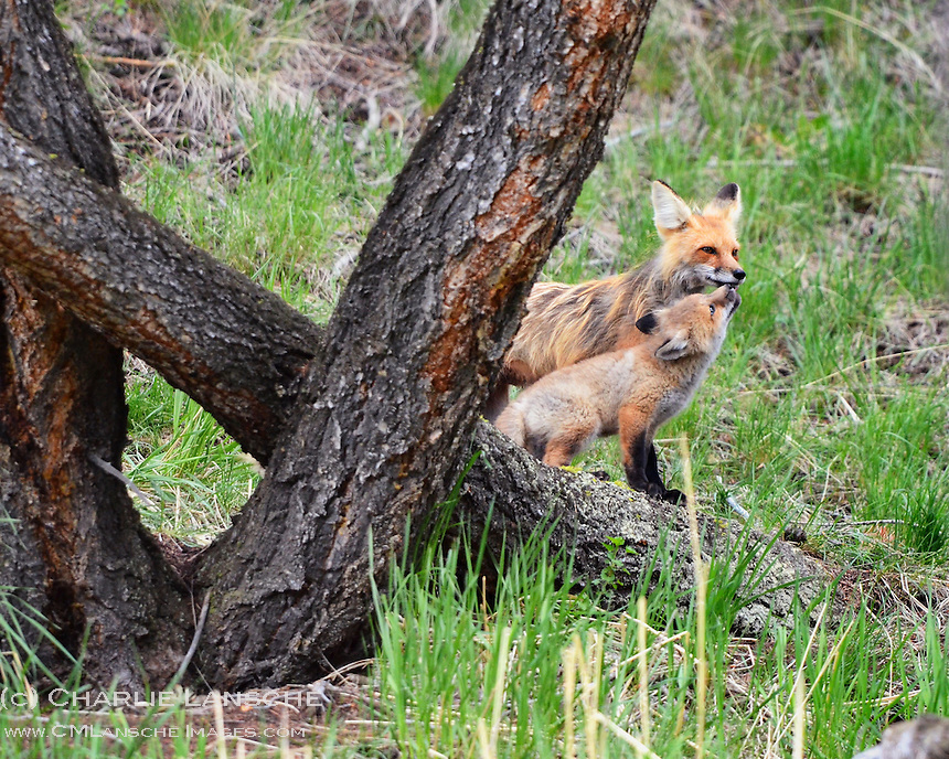 Mother red fox and kit share a tender moment near their den in the Lamar Valley of Yellowstone National Park.