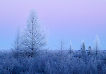 hoarfrost on tamarack in peatland, Red Lake Wildlife Management Area, Beltrami County, Minnesota