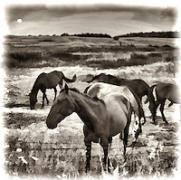 Horses in Open Field Just after Sunrise. Painterly effect applied to photo from medium format film.