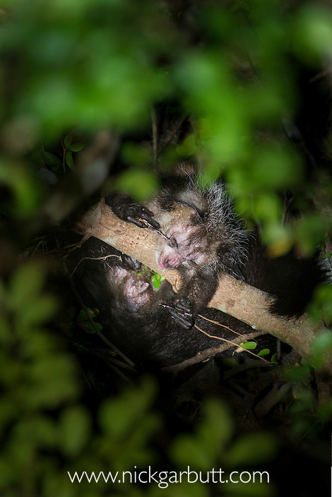 Aye-aye (Daubentonia madagascariensis) in the wild. Grooming in the forest canopy, after emerging from its nest at dusk. Near Daraina, northern Madagascar.