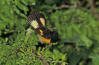 American Redstart, Setophaga ruticilla, male, High Island, Texas, USA, April 2001