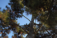 Paris, Jardin des Plantes: A view of the top of a pine (Pinus nigra) that dates back to 1774, and that is therefore a historical tree. This is an enlargement of a part of the original photo.