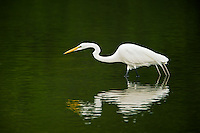 Great Egret, Ding Darling National Wildlife Refuge, Florida