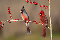 pyrrhuloxia or desert cardinal, Cardinalis sinuatus, male, and northern cardinal, Cardinalis cardinalis, male, feeding on meadow holly berries, Ilex decidua, Starr County, Rio Grande Valley, South Texas, USA, North America