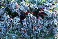 Ornamental Vegetable Ruby Chard (Beta) frosted in winter etched with ice . Rime on edges