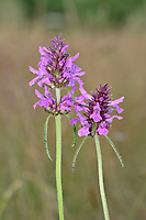 Betony - Stachys officinalis