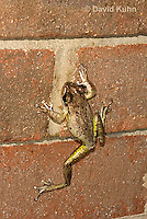 0201-0928  Cuban Treefrog on Brick Wall of House at Night Hunting for Insects (Cuban Tree Frog), Osteopilus septentrionalis  © David Kuhn/Dwight Kuhn Photography