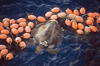 olive ridley sea turtle, Lepidochelys olivacea, tangled in gill net with buoys, off Baja, Mexico, East Pacific Ocean
