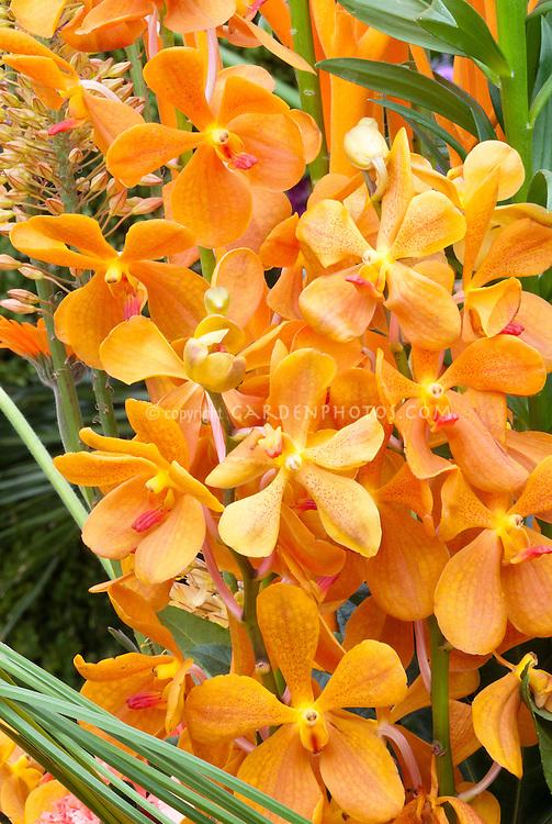 Mokara orange orchids, excellent waxy cut flowers