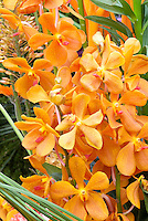 Mokara orange orchids, excellent waxy cut flowers