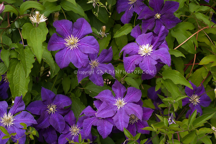 clematis aotearoa plant flower stock photography. Black Bedroom Furniture Sets. Home Design Ideas