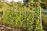 Runner beans, Phaseolus coccineus, red flowers growing in summer allotment, Shottisham, Suffolk, England, UK