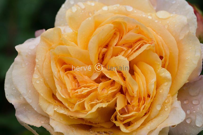 Rose 'Charles Austin'
