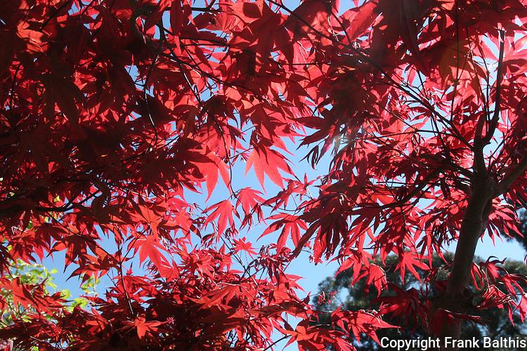 Japanese maple leaves at Japanese Garden in Hayward
