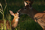White-tailed buck with a fawn