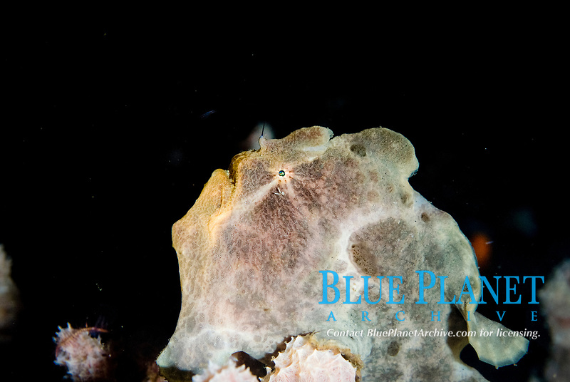 Painted Frogfish, Antennarius pictus, with parasite by eye, night dive, TK1 dive site, Lembeh Straits, Sulawesi, Indonesia, Pacific Ocean