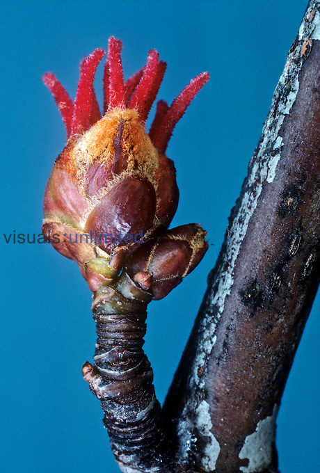 Silver Maple tree flower bud (Acer saccharinum), North America.