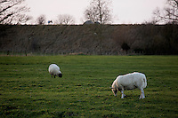 Sheep graze in a field outside East Hagbourne, Oxfordshire, England.