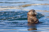 Sea Otter, California
