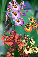 Tolumnia Equitant Oncidiums Orchids, several varieties together, pink, yellow, red flowers