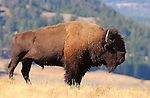 Bison Male on a Ridge, Lamar Valley, Yellowstone National Park, Wyoming