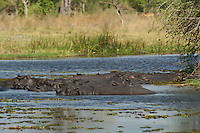 Hippopotamus.  A raft of hippos which spend most of their day in water deep enough to cover them because their thin, naked skin is vulnerable to overheating and dehydration,  Okavango Delta, Botswana Africa.