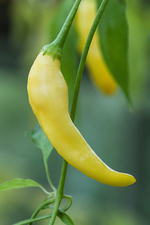 Chilli 'Peruvian Lemon Drop', late October. A very hot yellow Aji chilli with a strong lemon flavour.