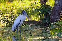Wood stork (Mycteria americana) in Belize