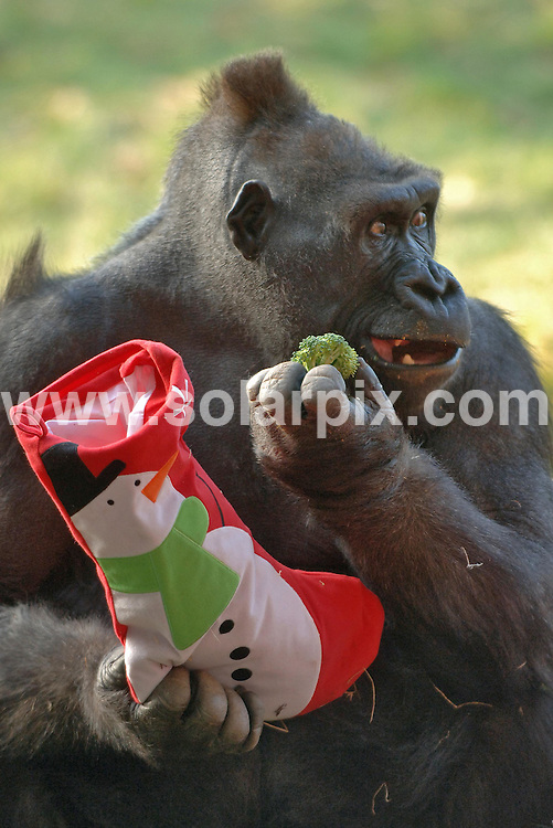**ALL ROUND PICTURES FROM SOLARPIX.COM**.**NO UK NEWSPAPER PUBLICATION **UK MAGAZINE PUBLICATION ONLY** AND NO PUBLICATION IN FRANCE, SCANDINAVIA, AUSTRALIA AND GERMANY** .Gorillas Bobby, Zaire and Effie celebrated their first christmas in the Gorilla Kingdom at London Zoo this morning and each were given special christmas stockings full of gorilla treats. 18th December 2007..This pic: Zaire the gorilla tucking into his stocking ..JOB REF: 5521 SFE       DATE: 18_12_2007.**MUST CREDIT SOLARPIX.COM OR DOUBLE FEE WILL BE CHARGED* *UNDER NO CIRCUMSTANCES IS THIS IMAGE TO BE REPRODUCED FOR ANY ONLINE EDITION WITHOUT PRIOR PERMISSION*