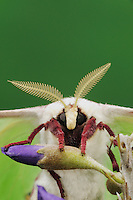 Luna Moth (Actias luna), adult on Texas Mountain Laurel (Sophora secundiflora) head close up, New Braunfels, Texas, USA