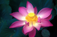 Beautiful up close shot of a pink lotus flower from Bali, Indonesia