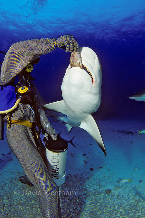 This diver (MR) in a full chain mail suit, is hand feeding Caribbean Reef Sharks, Carcharhinus perezi, off Freeport, Bahamas.