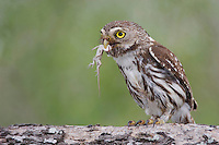 Ferruginous Pygmy-Owl, Glaucidium brasilianum, adult with lizard prey, Willacy County, Rio Grande Valley, Texas, USA