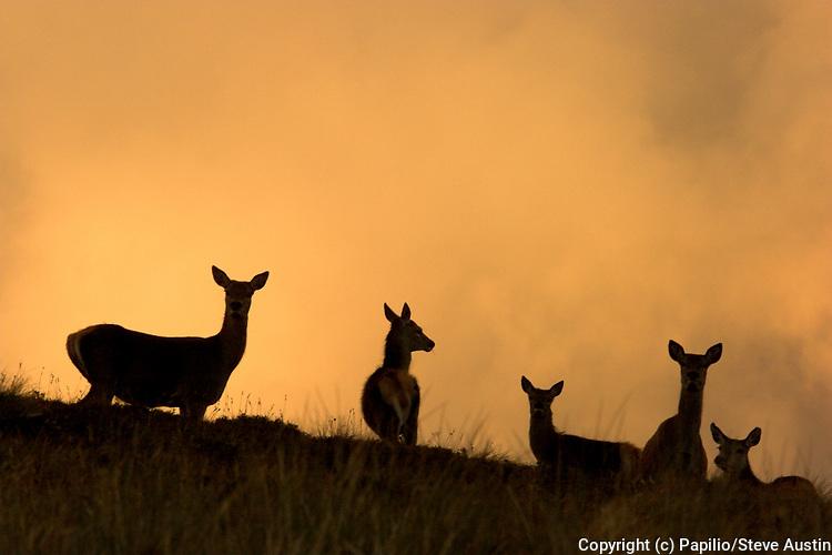 Red deer, Cervus elaphus, group of hinds on hill, Inverness-shire, Highland,  Scotland, sunset, silhouette