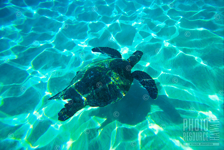 Green Sea Turtles. Green sea turtle with clear water at Makena, Maui.