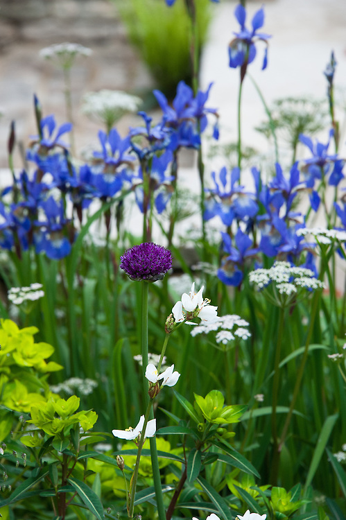 Mixed border including white Dittany (Dictamnus albus), Allium and Euphorbia wallichii in front of Iris sibirica 'Tropic Night'. Brewin Dolphin Garden, Cleve West, RHS Chelsea Flower Show 2012.