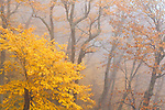 Autumn color and fog filled forest