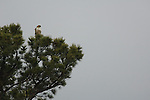 Red-tailed hawk, Buteo jamaicensis, bird, raptor, Rocky Mountain National Park, Colorado, Rocky Mountains