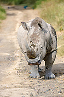 White Rhinoceros (Ceratotherium simum), bull walking on the road, Lake Nakuru National Park, Kenya, Africa