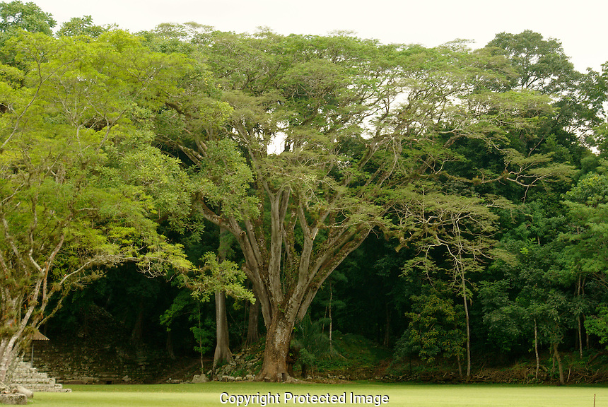 Tropical rain forest trees at the Mayan ruins of Copan, Honduras. Copan is a UNESCO World Heritage Site.
