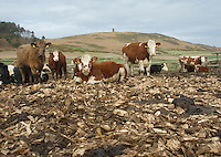 Beef cattle in a wood chip corral, Isle of Man.