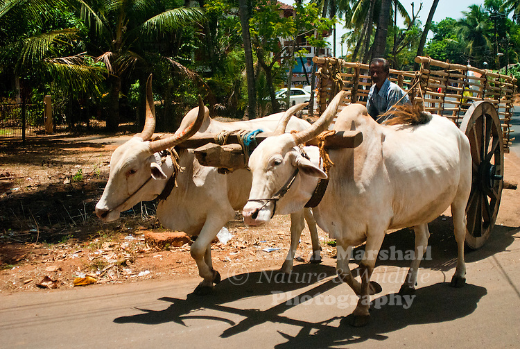 Braham cattle pulling a cart to the local markets.