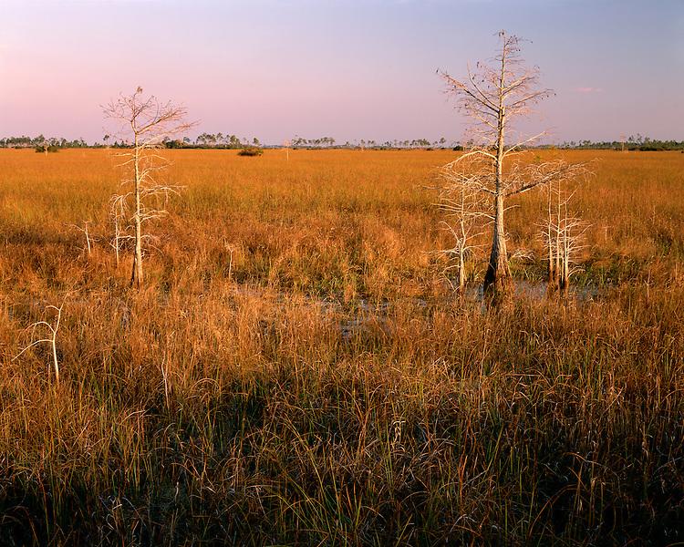 Sunrise light on Dwarf Cypress trees and grassland; Everglades National Park, FL